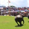 Những thông tin thú vị xung quanh lễ hội chọi trâu Đồ Sơn