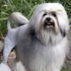 Top 10 giống chó đắt giá nhất thế giới