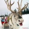 Vì sao ông già Noel chọn Tuần Lộc – Những điều thú vị về Tuần Lộc