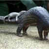 Sự thật thú vị về loài tê tê