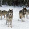 """Câu chuyện chó sói xung trận – hãy """"lạnh lùng"""" như bầy sói khi chọn cách đối đầu với thử thách"""