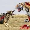 Hổ bố gặp chó điên liền tránh mặt, hổ con hỏi tại sao, câu trả lời thật sâu sắc