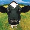 Giết ngay con bò quý giá!!!