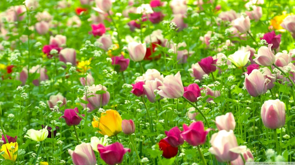 Hinh-Nen-Canh-Dong-Hoa-Tulip-Dep-5