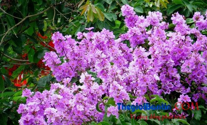Hoa phuong do Haiphong (1)