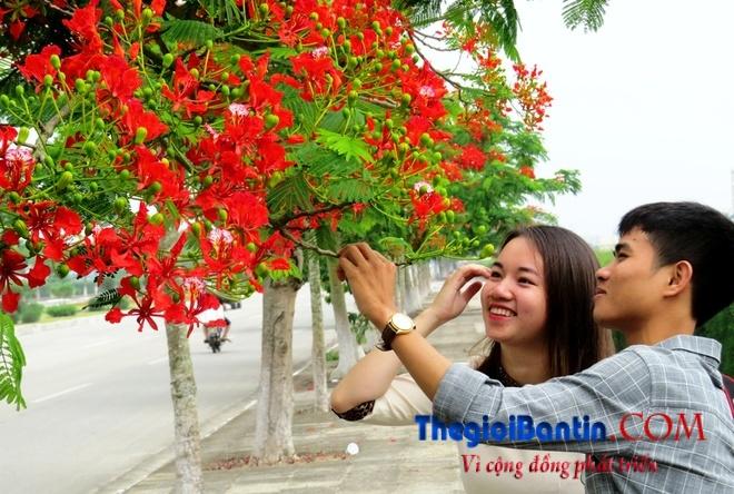 Hoa phuong do Haiphong (10)