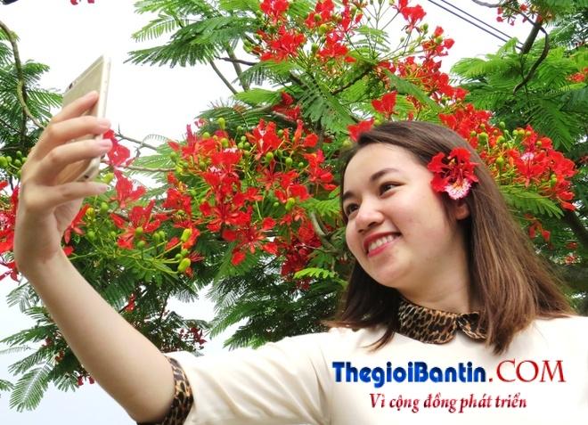 Hoa phuong do Haiphong (11)