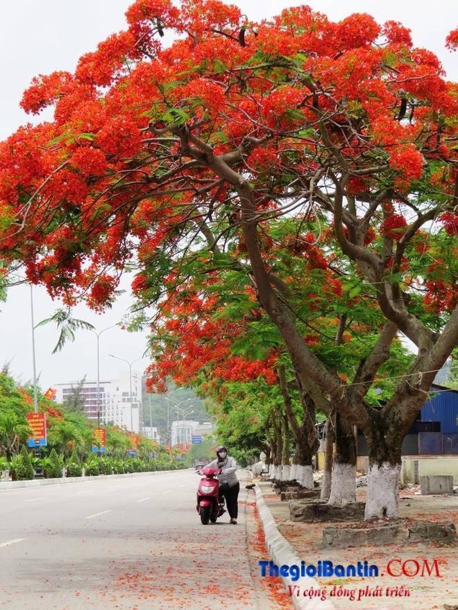 Hoa phuong do Haiphong (3)