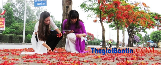 Hoa phuong do Haiphong (5)