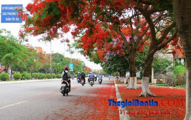 Hoa phuong do Haiphong (8)