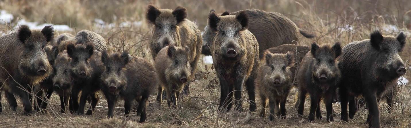 Thịt Heo Rừng Texas săn bắt tự nhiên tại Texas Hoa Kỳ đang sốt thị trường Việt 2018