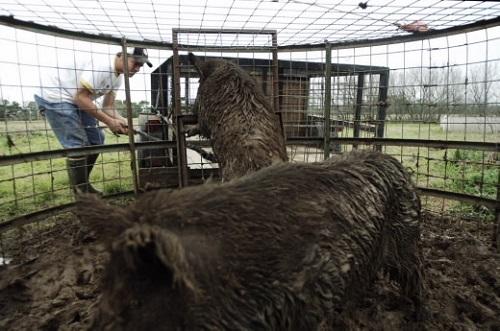 Thịt lợn rừng Texas sống tự nhiên nhập khẩu vào thị trường Việt