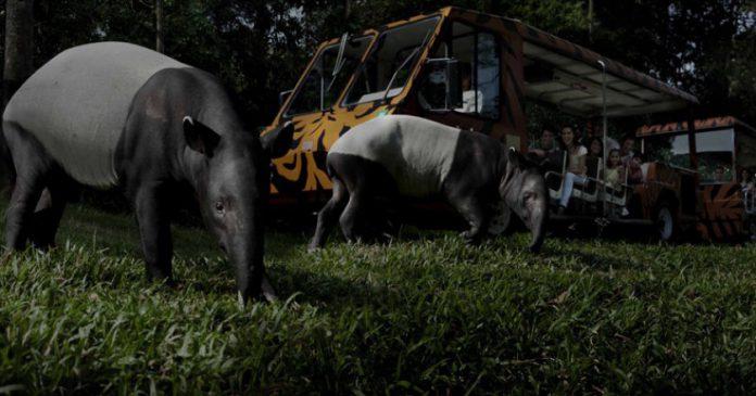 Kinh nghiệm đi chơi sở thú đêm Night Safari
