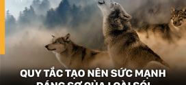 Quy tắc tạo nên sức mạnh đáng sợ của loài sói