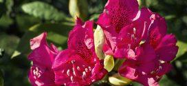 Ý nghĩa của hoa Đỗ Quyên và sự tích về loài hoa của lứa đôi